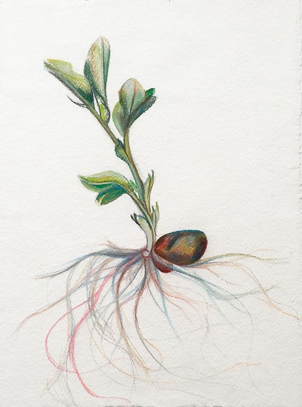 Bean, Watercolor And Pastel On Handmade Paper, 37x28 Cm, 2015