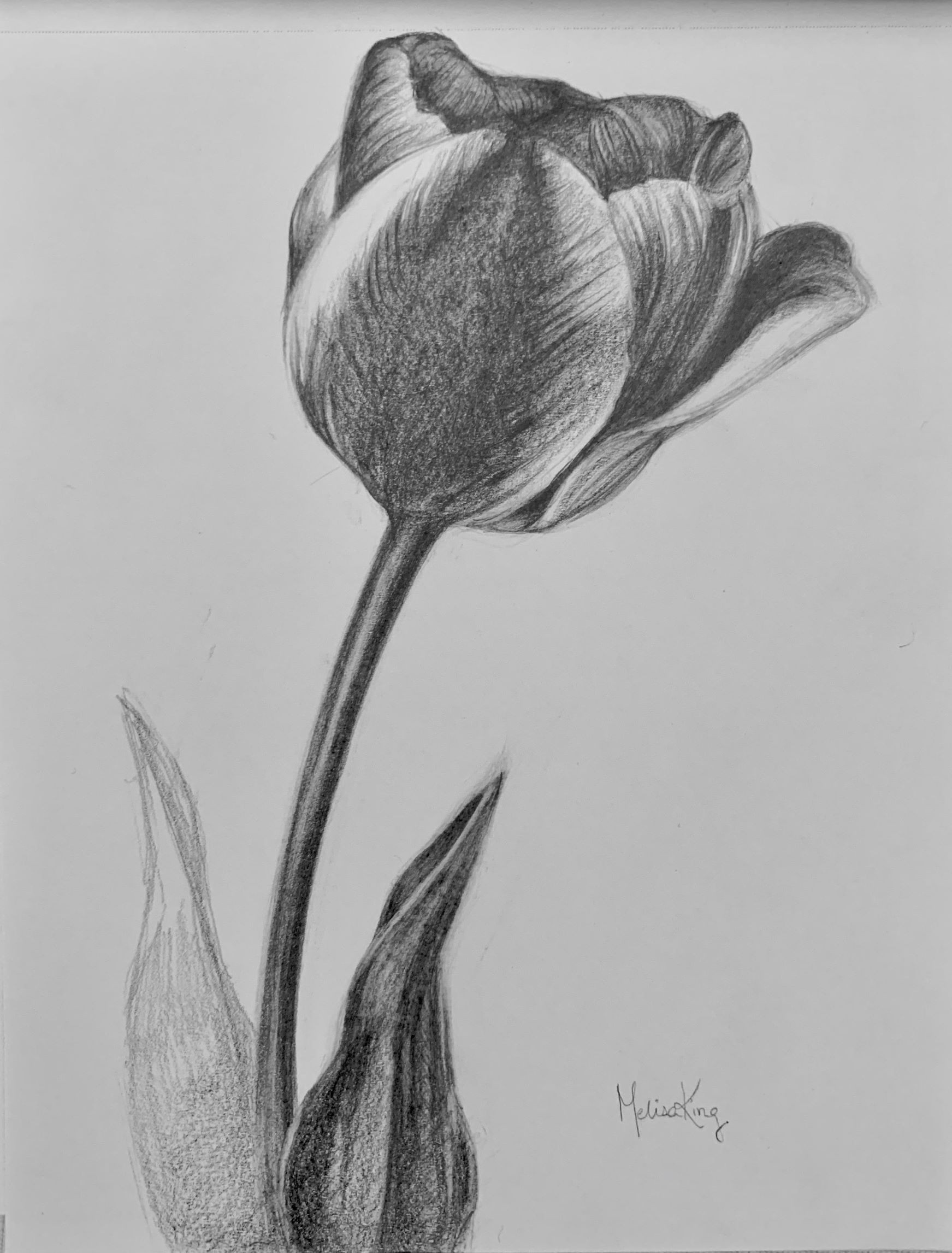 Tulip, Pencil on Paper, 15x21 cm