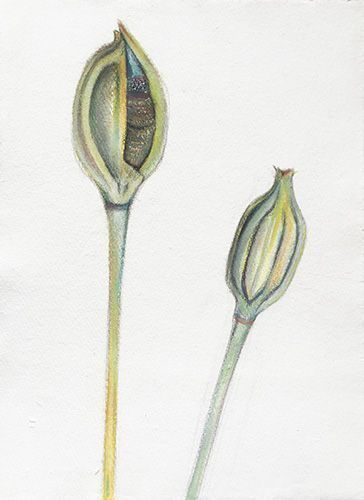 Iris, Watercolor And Pastel On Handmade Paper, 37x28 Cm, 2015